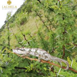Lalibela Game Reserve - Southern Dwarf Chameleon -Liezel van den Bergh