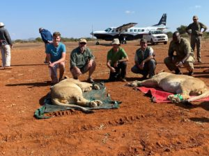 New Lions for Madikwe Game Reserve